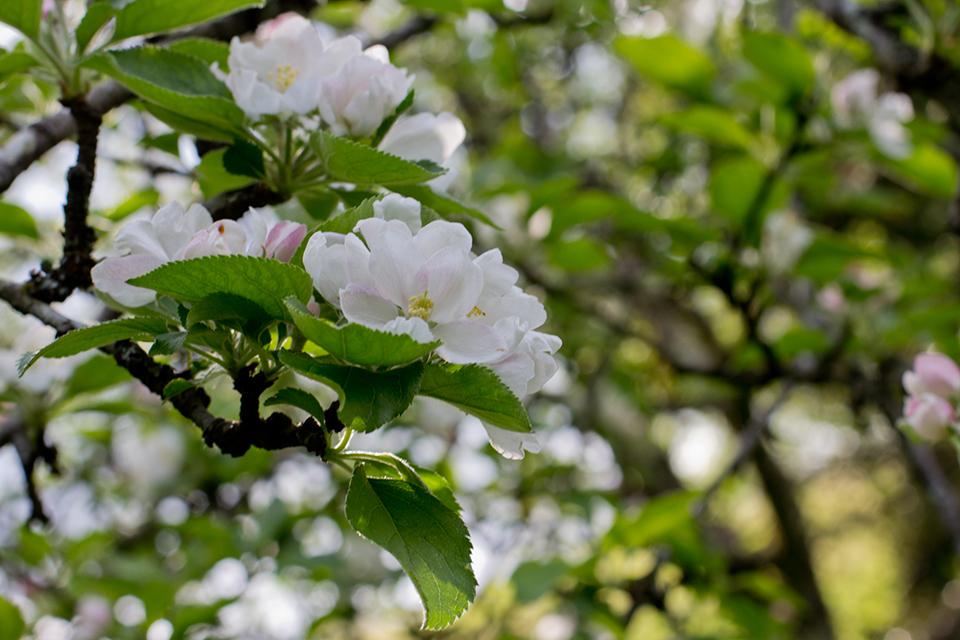 PRIMAVERA 2017 en el territorio de la sidra: actividades para disfrutar de la floración
