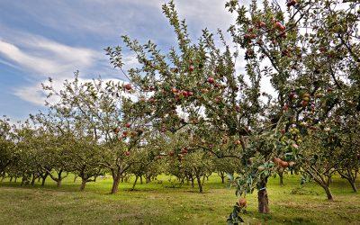Estado de maduración de la manzana de sidra de la cosecha 2017
