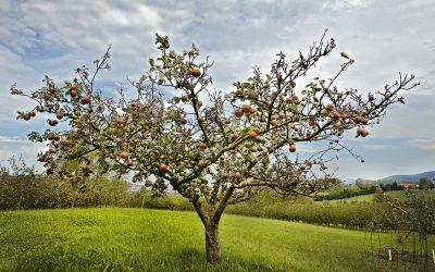 Convocatoria de ayudas a la plantación, mejora y desarrollo del cultivo del manzano de sidra en Gipuzkoa