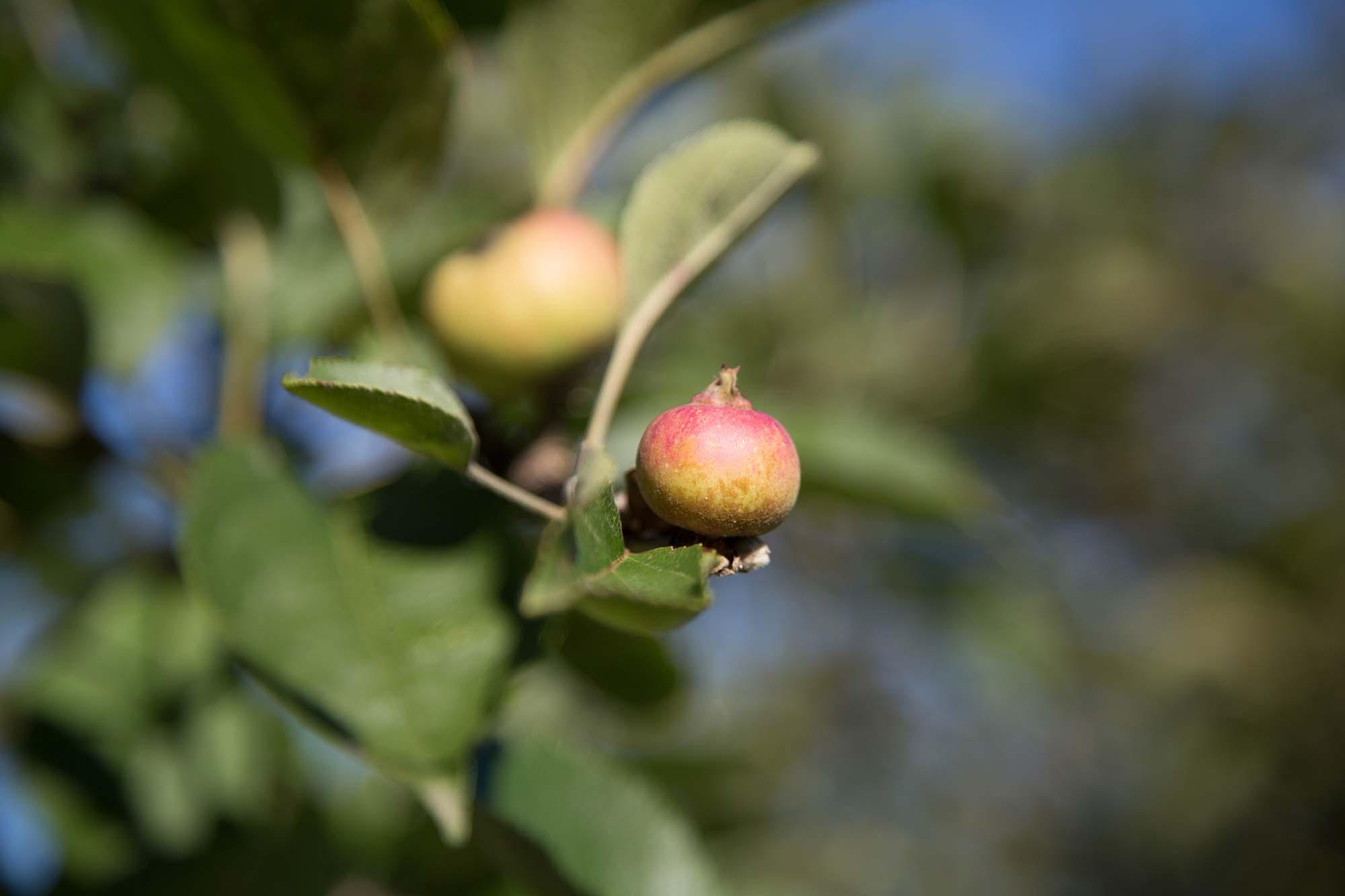 Estado de maduración de la manzana de sidra de la cosecha 2020